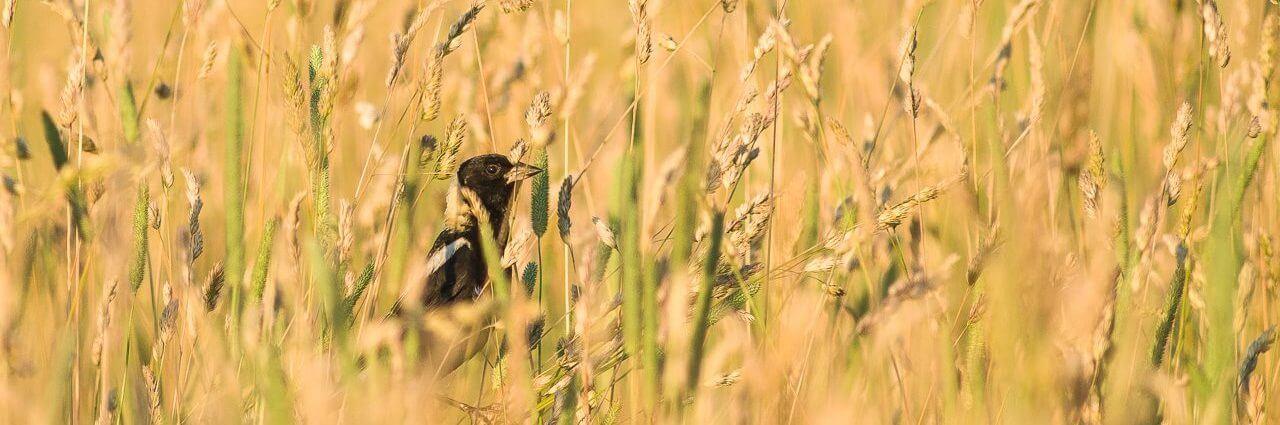 oiseau noir Accueil