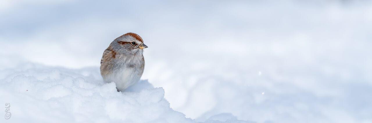 Bruant hudsonien / American Tree Sparrow [Spizella arborea]